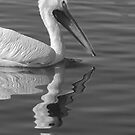 Pelican Reflection by Heather Friedman