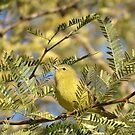 Orange-crowned Warbler by Kimberly P-Chadwick