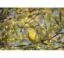 Orange-crowned Warbler Photographic Print