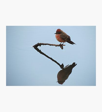 Vermilion Flycatcher (Reflections of Tranquility)  Photographic Print