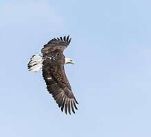 American Bald Eagle 2015-28 by Thomas Young
