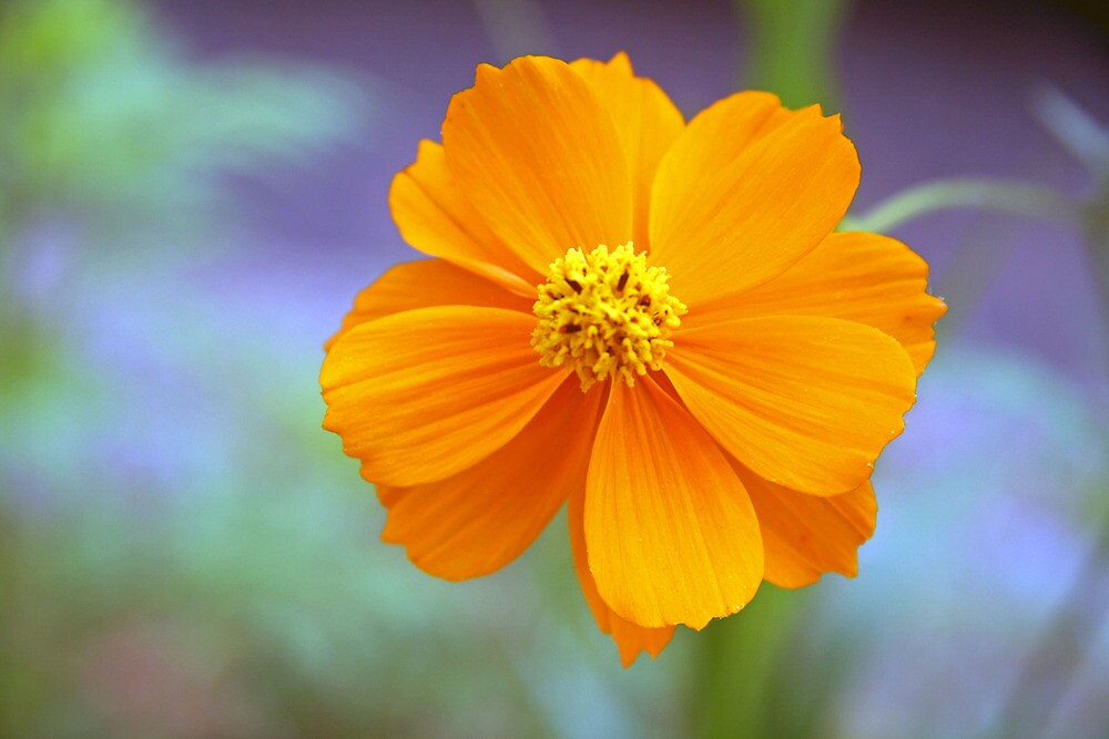 A Colorful Orange Flower by Cora Wandel