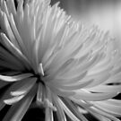 Chrysanthemum In Black And White by Betty Northcutt