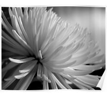 Chrysanthemum In Black And White Poster