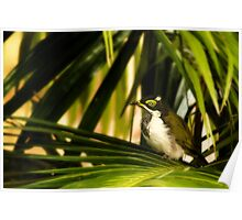 Blue Faced Honeyeater. Poster