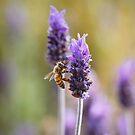 Bee on lavender by Lynn Starner
