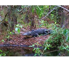 Gators on the Bank 1 Photographic Print