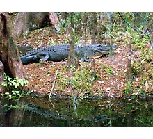 Gators on the Bank 3 Photographic Print