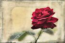 valentines rose by Teresa Pople