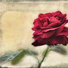valentines rose by Teresa Pople