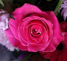 lovely holiday pink rose flower photography. by naturematters