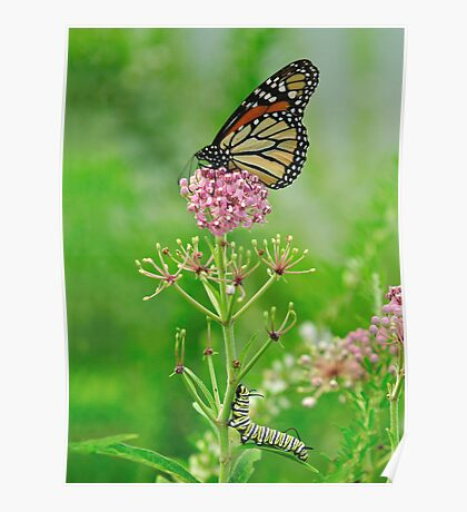 Someday - Monarch Butterfly and Caterpillar Poster