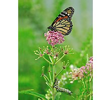 Someday - Monarch Butterfly and Caterpillar Photographic Print