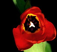 Red Tulip by Andrew Pounder