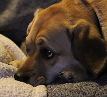 Toby - Puggle by Grabmatt