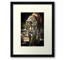 Sumatran Tiger - Melbourne Zoo Jan 2013 Framed Print