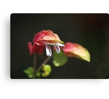 Flowering Shrimp Plant Canvas Print