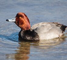 A Proud Redhead on Laguna Madre by Robert Kelch, M.D.