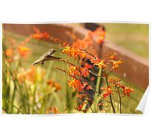Hummingbird with Orange Flowers Poster