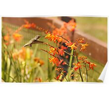 Hummingbird with Orange Flowers Poster