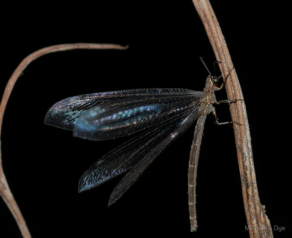 Antlion by Michael L Dye
