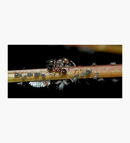 Ants and Aphids Photographic Print