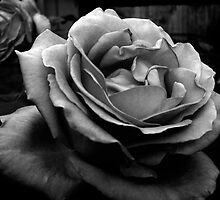 Black and White Rose  by sandralee1989