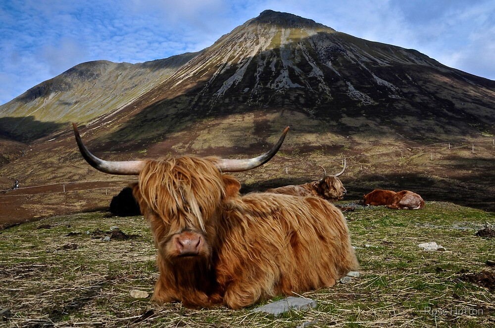 Scottish Highland Cow by Ross Hutton