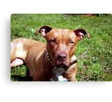 Pit-bull Dog Canvas Print