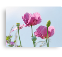 Wild Pink Poppies Beside the River Dee in Chester Canvas Print