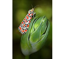 Crimson Speckled Moth Photographic Print
