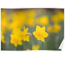 Daffodil yellow Poster