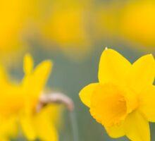Daffodil yellow Sticker