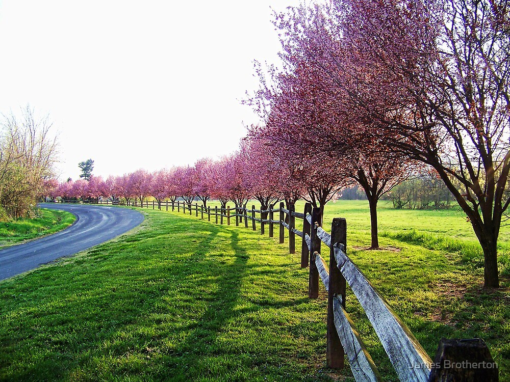 Blooming Trees Along The Road by James Brotherton