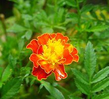 Orange Flower by amazingcat