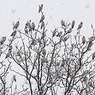 Waxwings in the snow. by MikeSquires