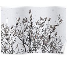 Waxwings in the snow. Poster