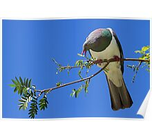 New Zealand Wood Pigeon Poster