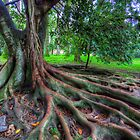 Ficus Macrophylla by manateevoyager