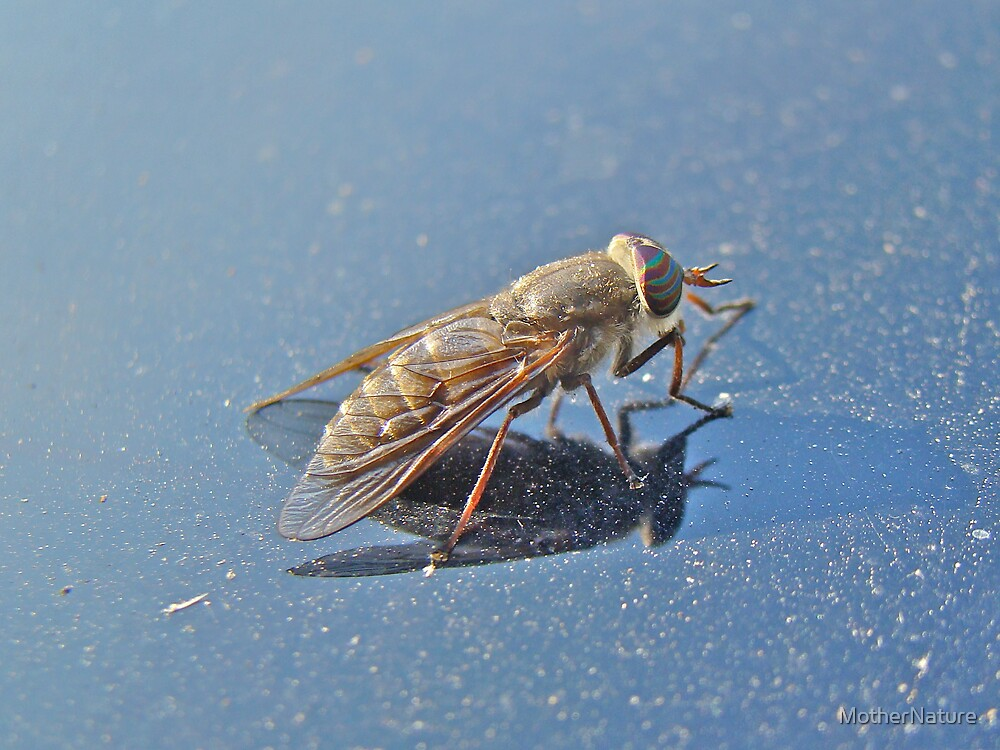 Horse Fly - Tabaninae - Tabanus by MotherNature