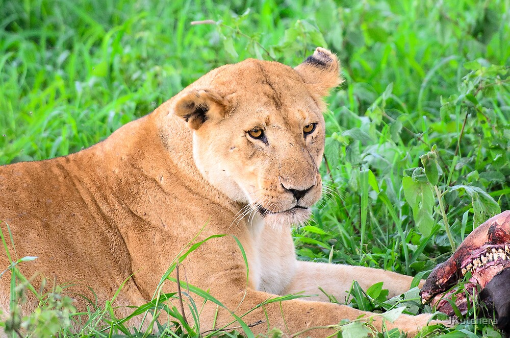 Lioness and kill by JKutchera
