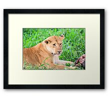 Lioness and kill Framed Print