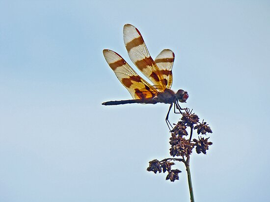 Halloween Pennant Dragonfly - Celithemis eponina by MotherNature