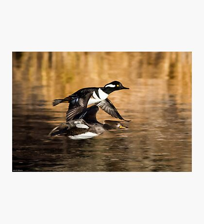 Hooded Mergansers: Drake and Female Duck in Flight Photographic Print