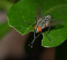 Fly on leaf by Michael L Dye