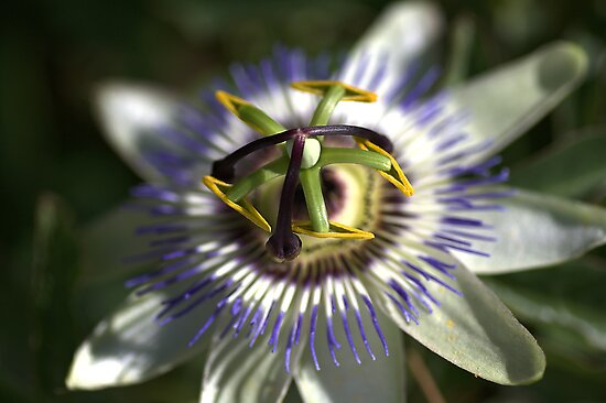 Passion Fruit by Joy Watson
