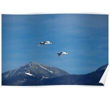 Swans in Flight Poster