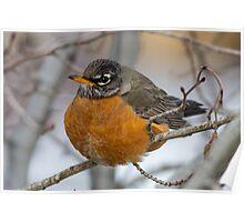 American Robin: Winter Coat Poster