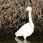Great White Egret, Phil and Marilyn Isenberg Sandhill Crane Reserve by Maurine Huang