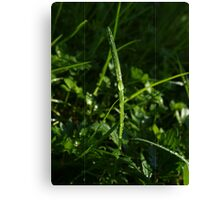 Dew Drops in the Gras Canvas Print